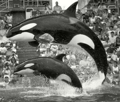 Voice of the Orcas: The Remarkable Concluding Testimony of