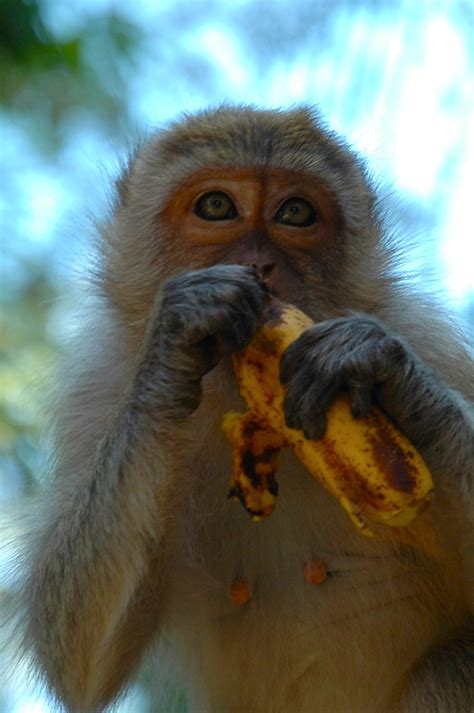 Monkey With Banana Wallpapers High Quality   Download Free