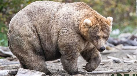 Fat Bear Week: The holiday everyone needs right now is