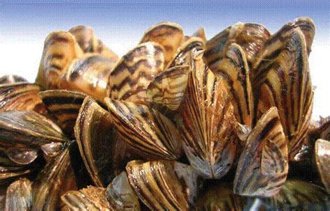 Zebra Mussels - What Boaters Should Know - Bighorn Canyon
