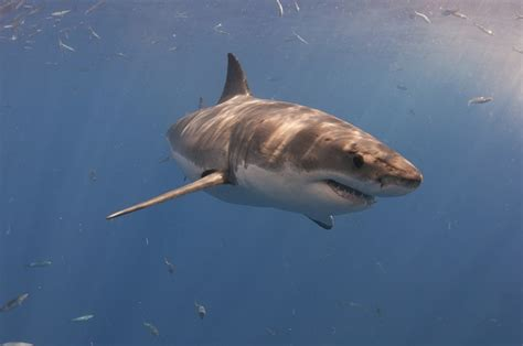 Why Do Great White Sharks Attack Humans? | Always Learning!