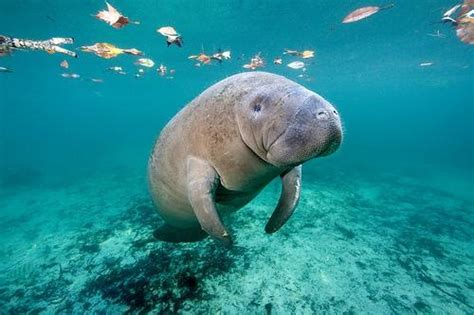 Why sharks don't primarily prey on manatees? - Quora